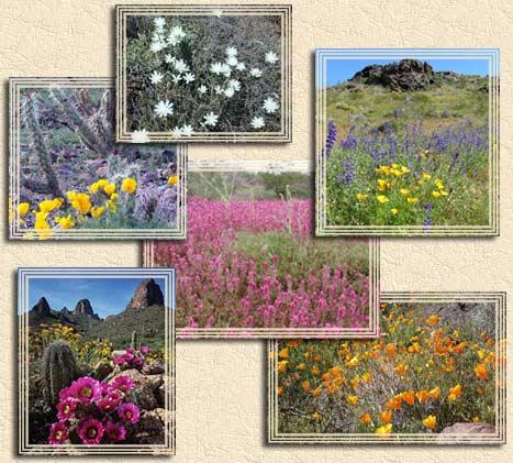 should the arizona desert bloom Desert wildflower reports for phoenix and northern arizona area when will the desert wildflowers bloom keep up to date with desertusa's wildflower reports.