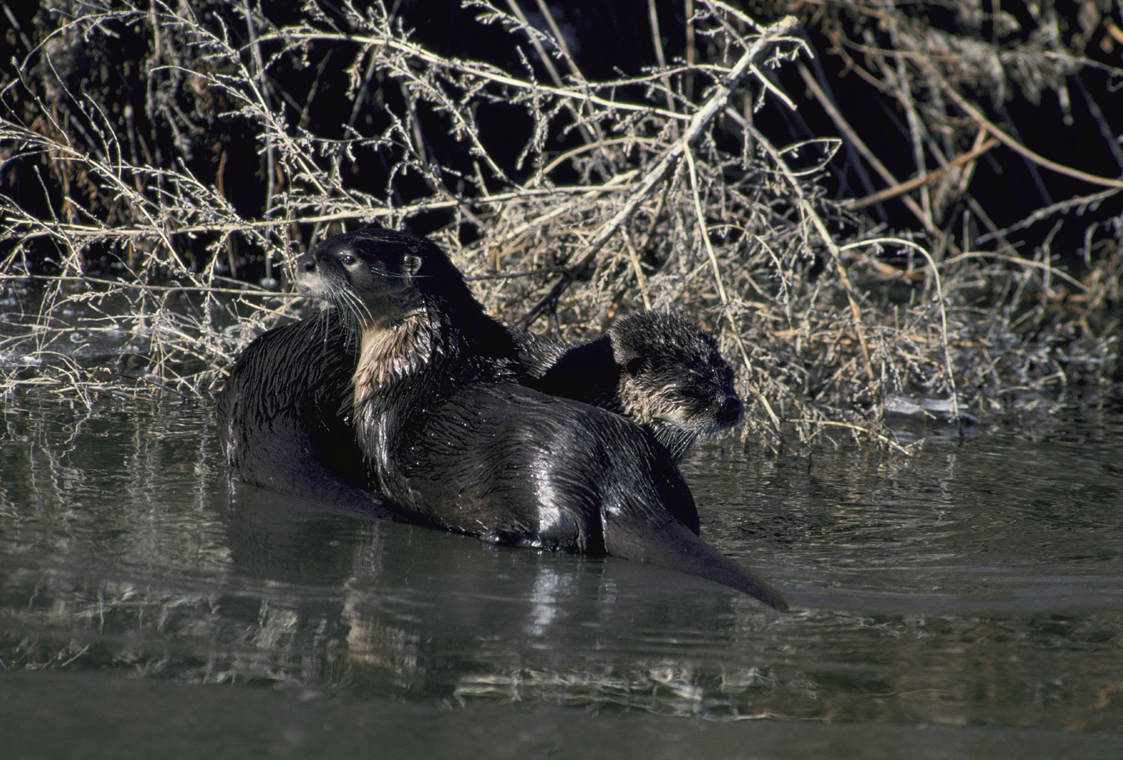 Title: River Otter, Alternative Title: (Lutra canadensis) Creator: Menke, Dave, Source: WV-Menke1-2996, Publisher: U.S. Fish and Wildlife Service, Contributor: NATIONAL CONSERVATION TRAINING CENTER-PUBLICATIONS AND TRAINING MATERIALS