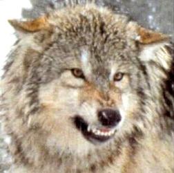 New moon- Jacob and team  Wolf_angry
